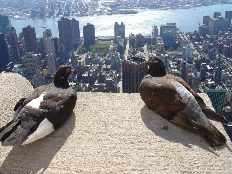 Fåglar ändrar tonläge för att flirta i stan