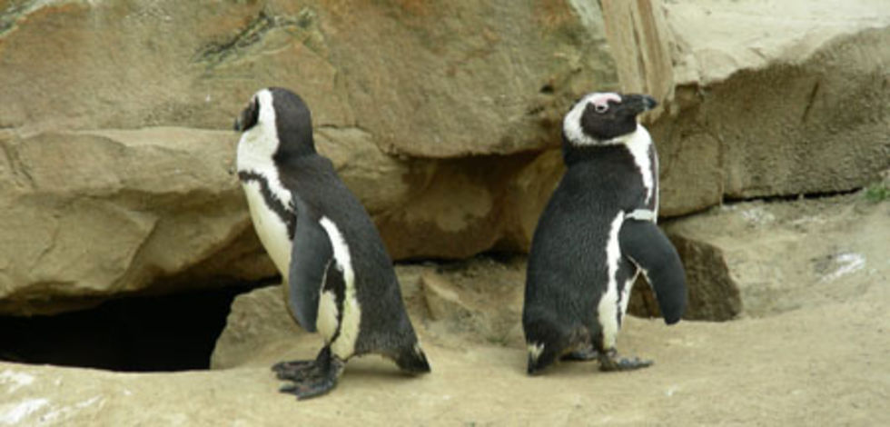 Det har funnits jättepingviner i Peru