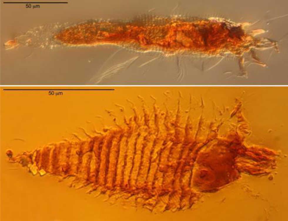 Forskare hittar världens hittills äldsta fossila kryp