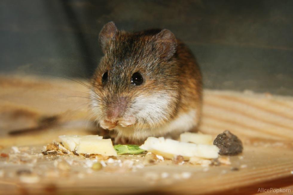 Genmanipulerade möss ska leta landminor