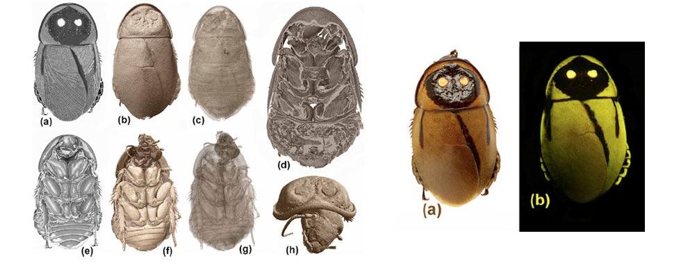 Nyligen upptäckt självlysande kackerlacka antagligen redan utrotad