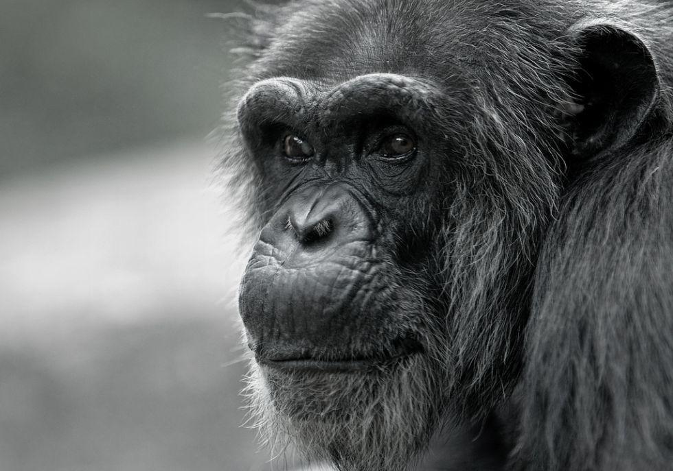 Även apor har medelålderskriser
