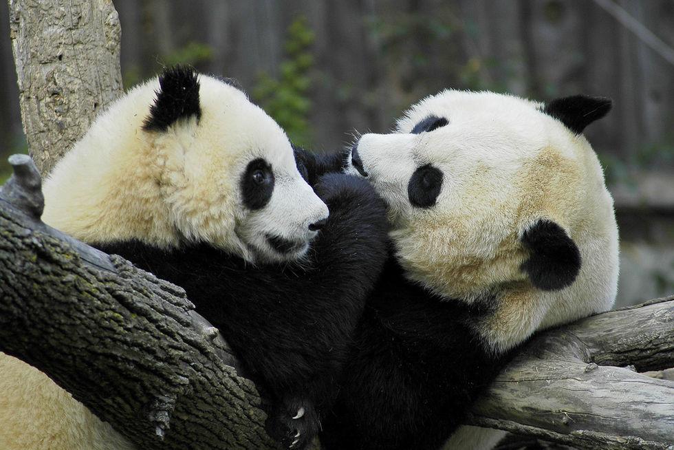 Pandablod kan skydda mot superbakterier