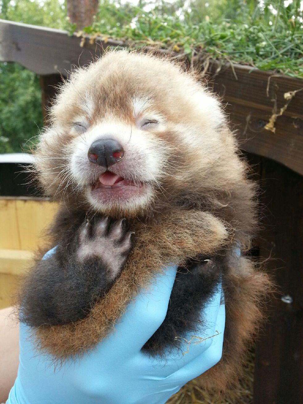 En röd panda har fötts på Kolmården