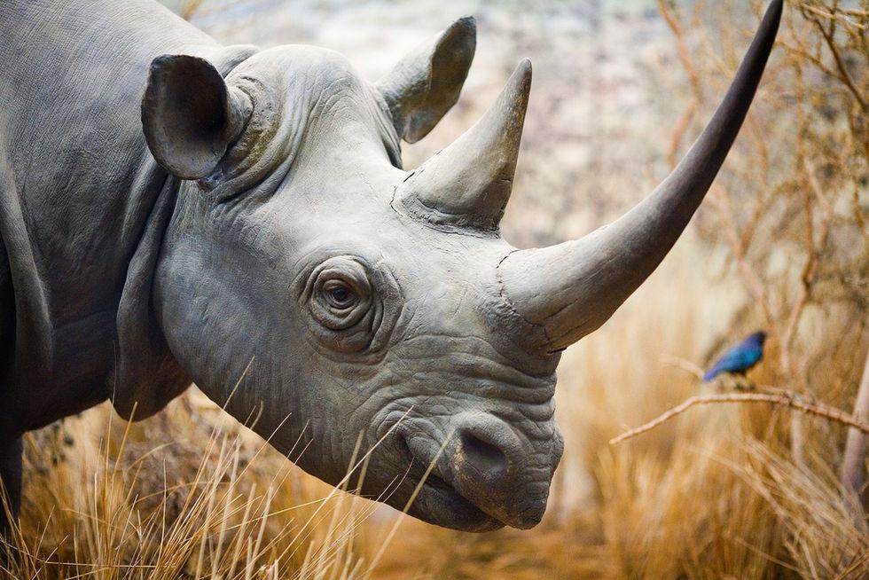 Sydafrikansk delstat börjar förgifta alla noshörningars horn
