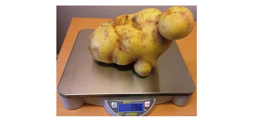 Sveriges största potatis