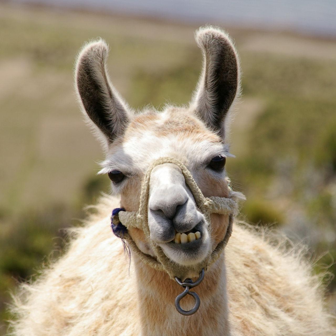 Lama blir internetkändis i Frankrike