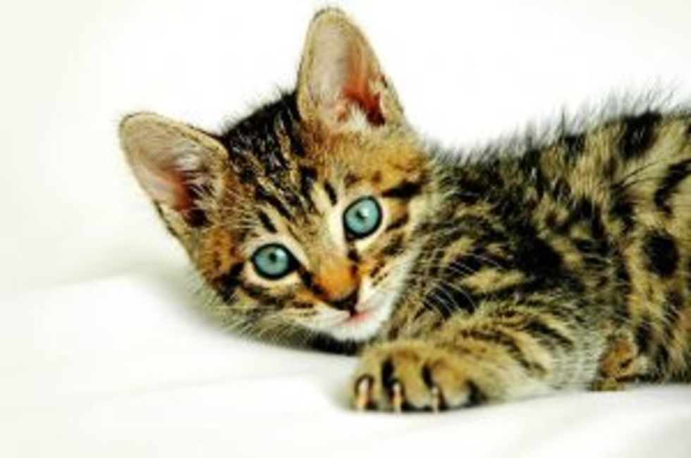 kan katter få feber