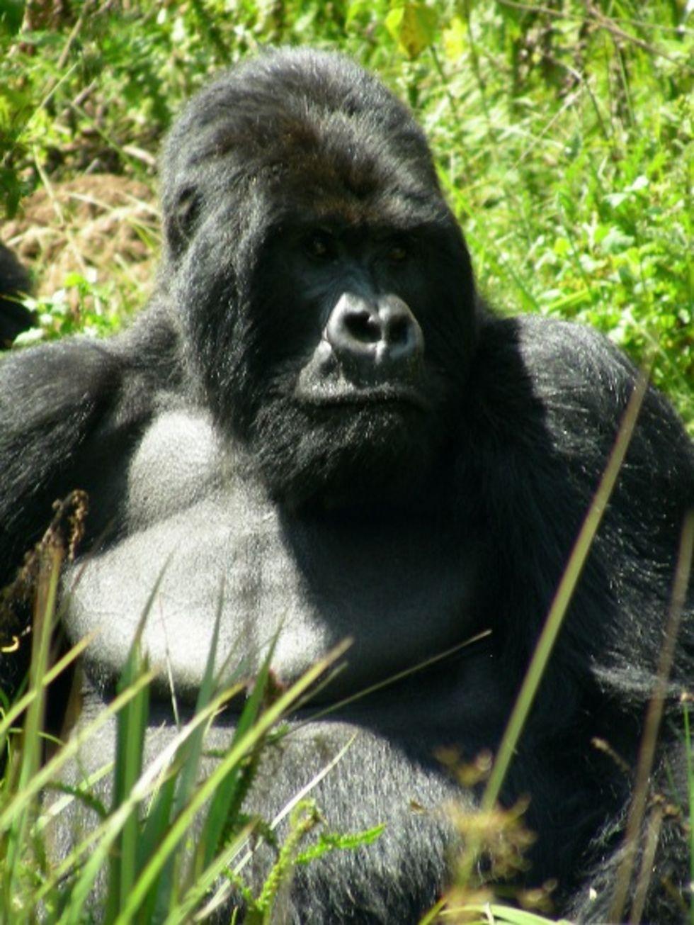 Gorillor i Kongo-Brazzaville döda av ebola-virus