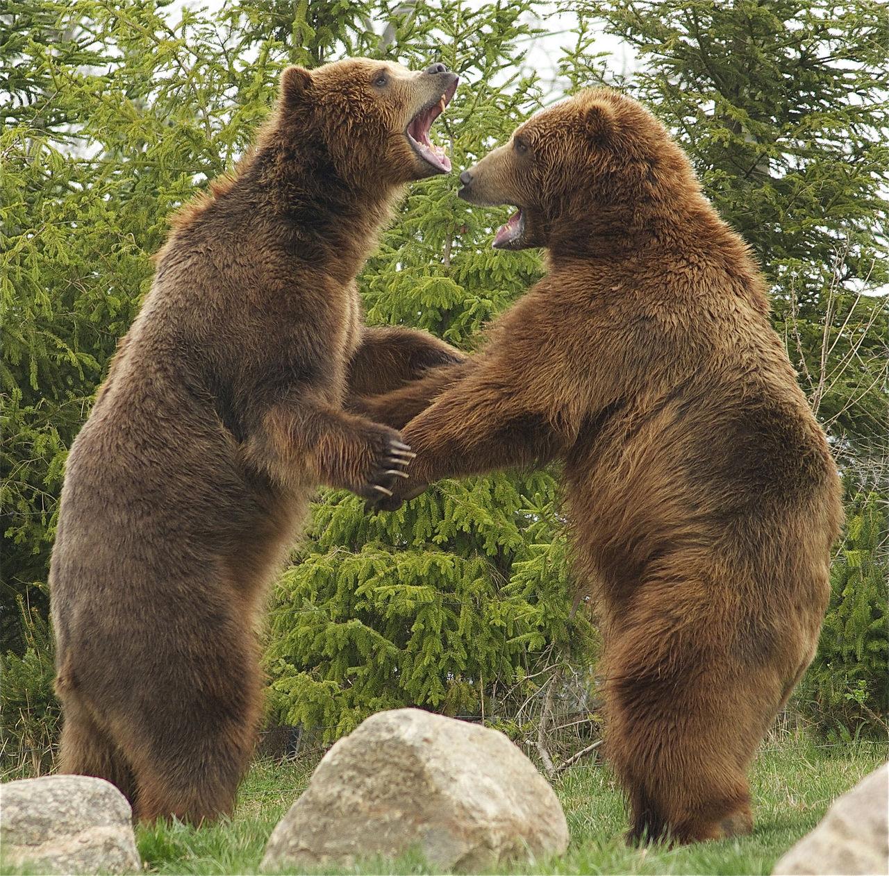 Bigfoot var antagligen en björn