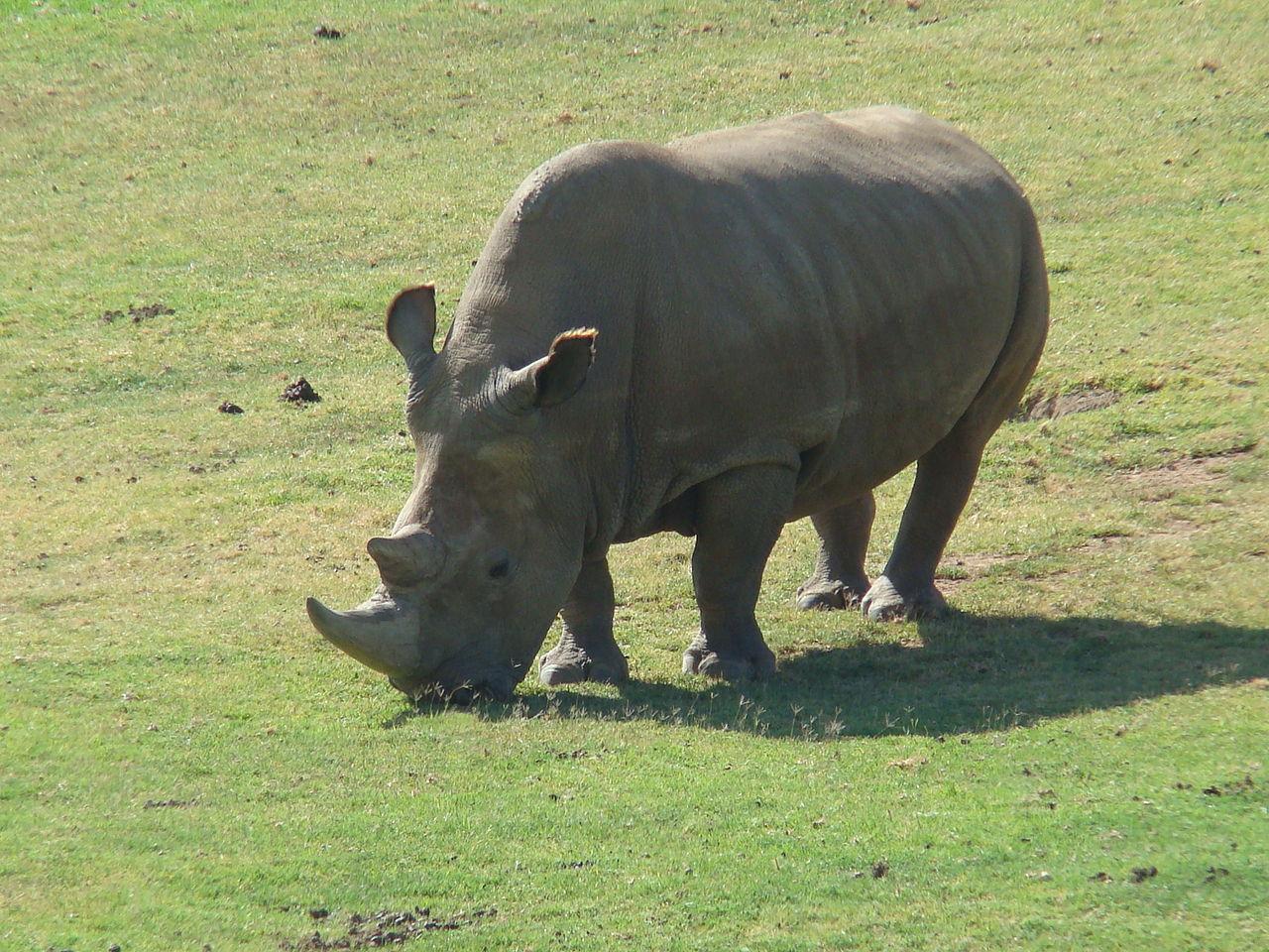 Sällsynt vit noshörning död i Kenya