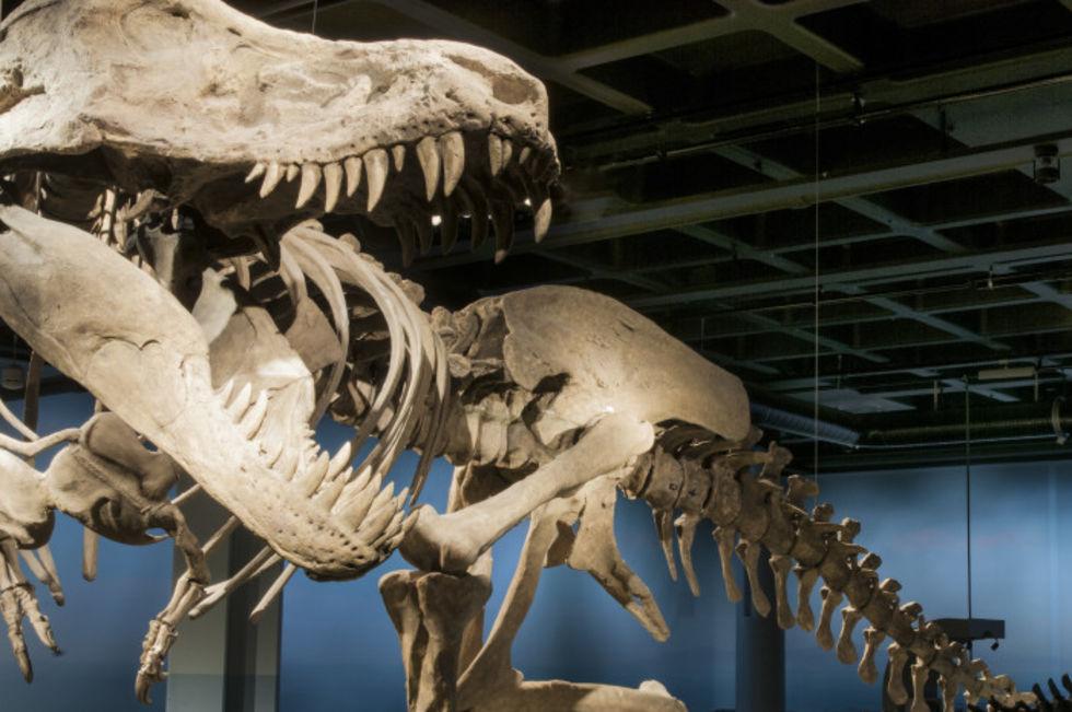 Dinosaurierna kommer snart till Naturhistoriska riksmuseet igen