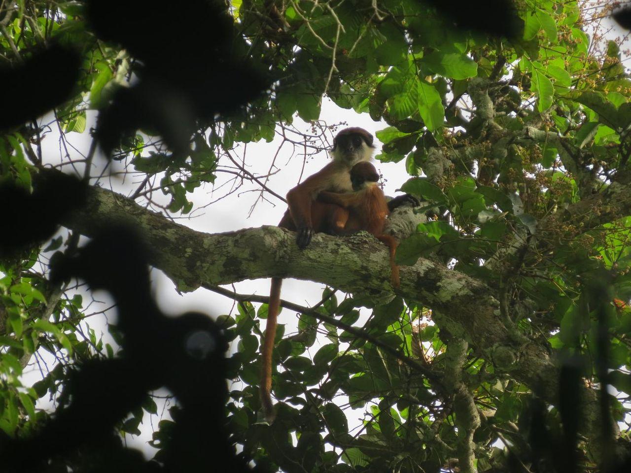 Första bilden på apa man trodde var utdöd