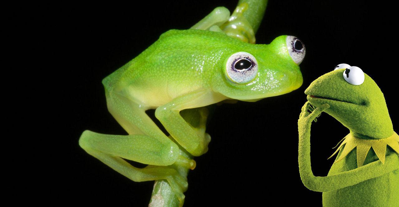 Ny glasgroda funnen i Costa Rica