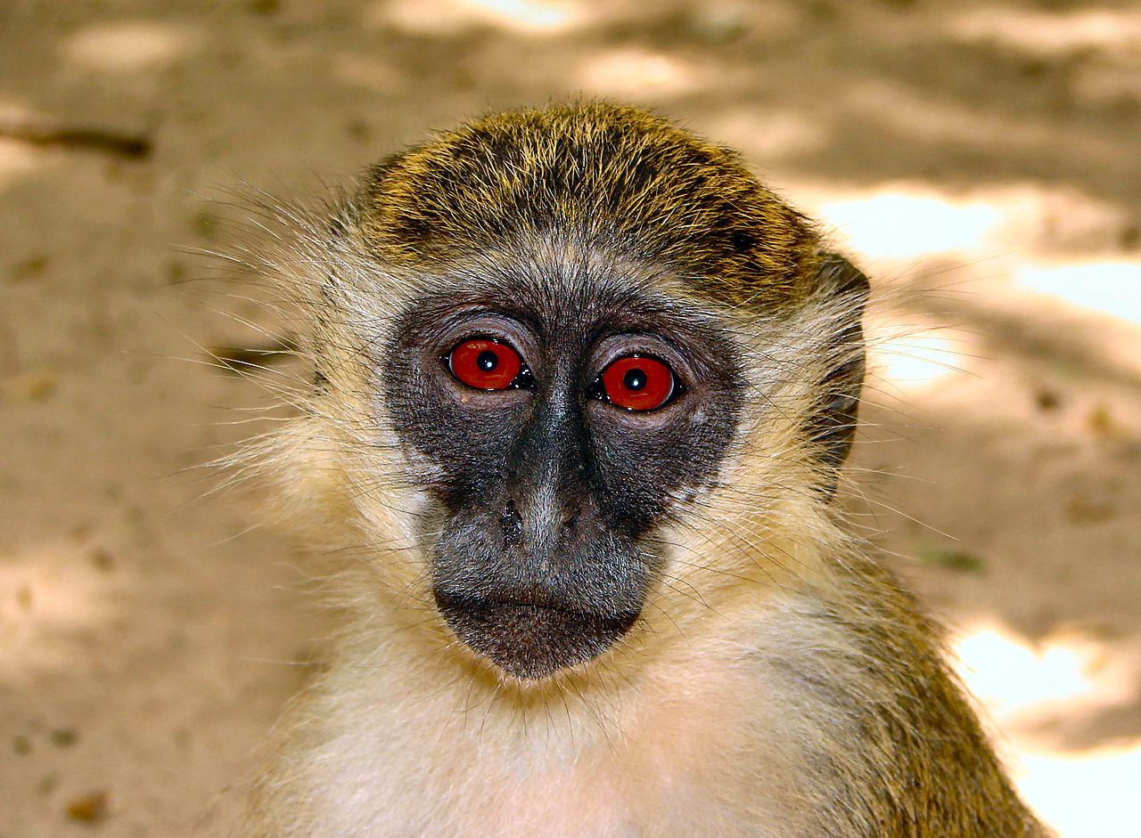 Kinesisk läkare ska transplantera huvuden på apor