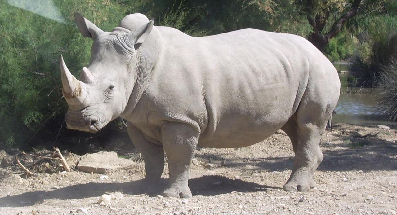 Företag 3D-printar noshörningshorn