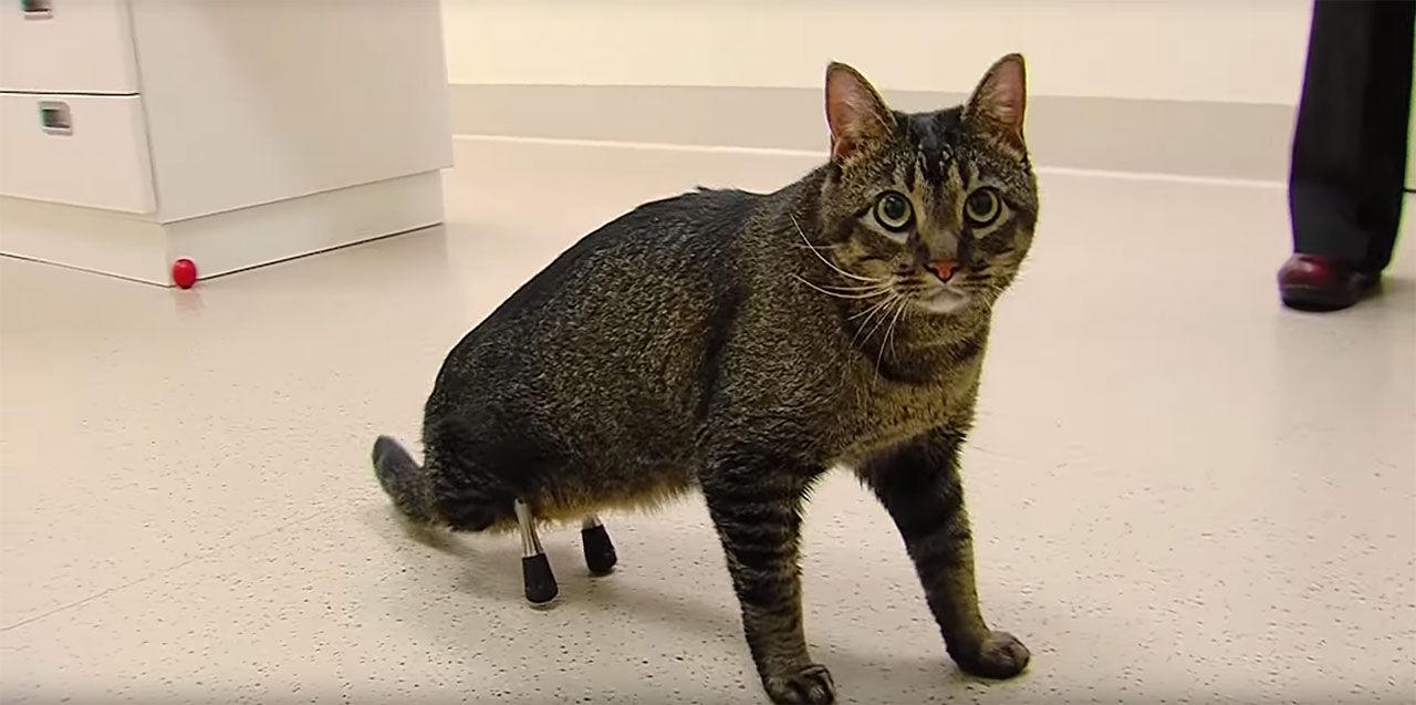 Katt får benproteser