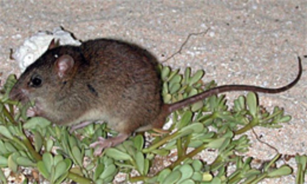 Melomys rubicola antagligen första däggdjuret som utrotats på grund av den globala uppvärmningen