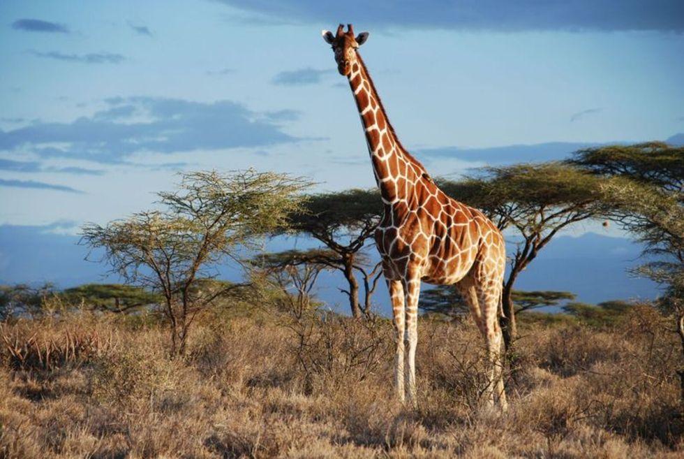 släkt med giraffen