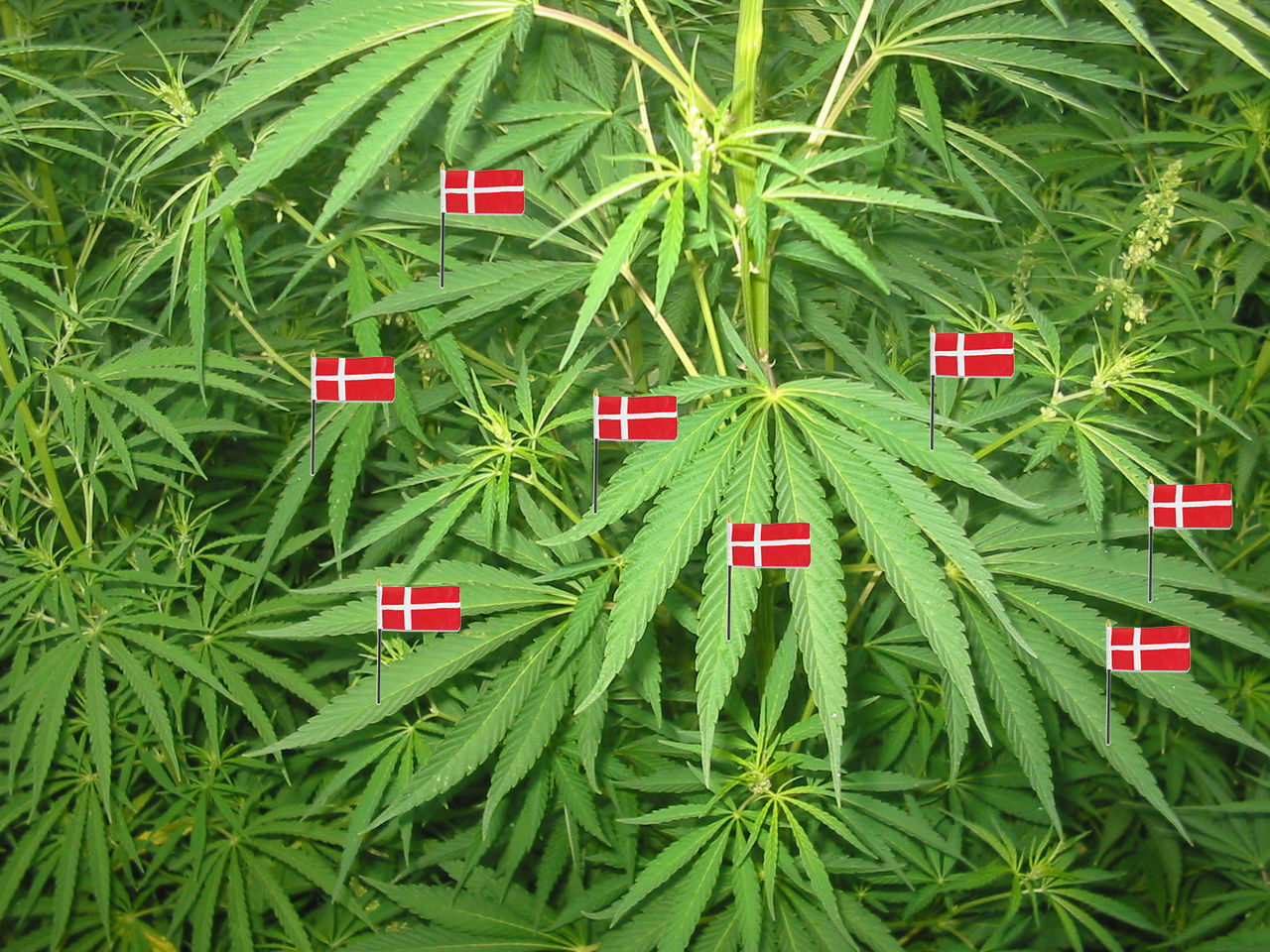 Danmark säger ja till medicinsk cannabis