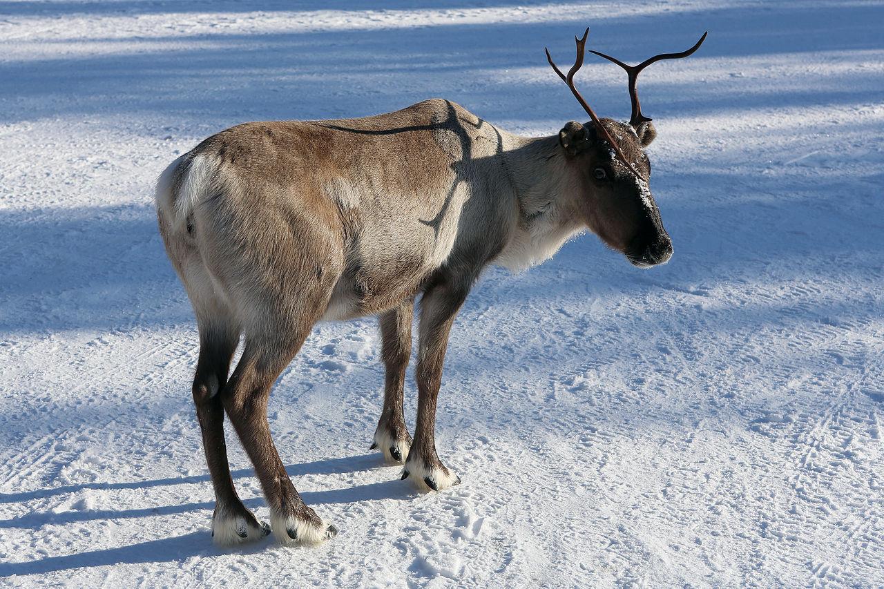 Renarna på Svalbard blir mindre
