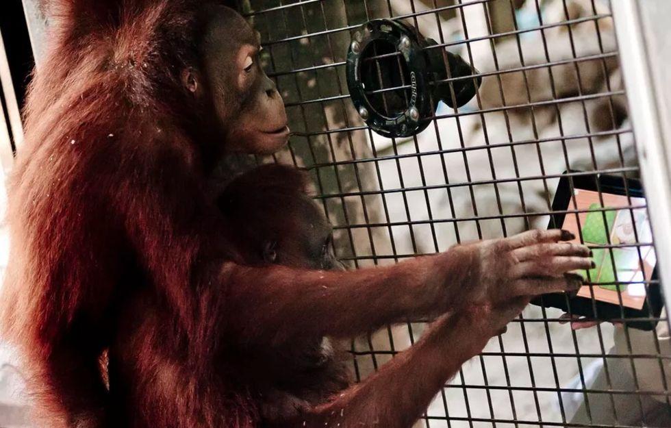 Tinder för orangutanger