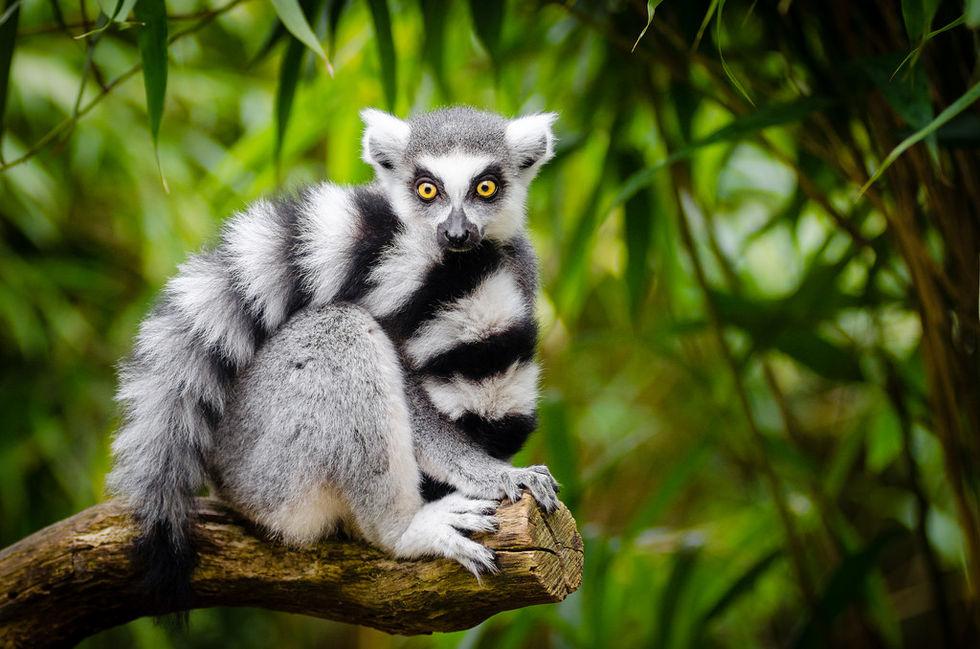 LemurFaceID kan identifiera lemurer