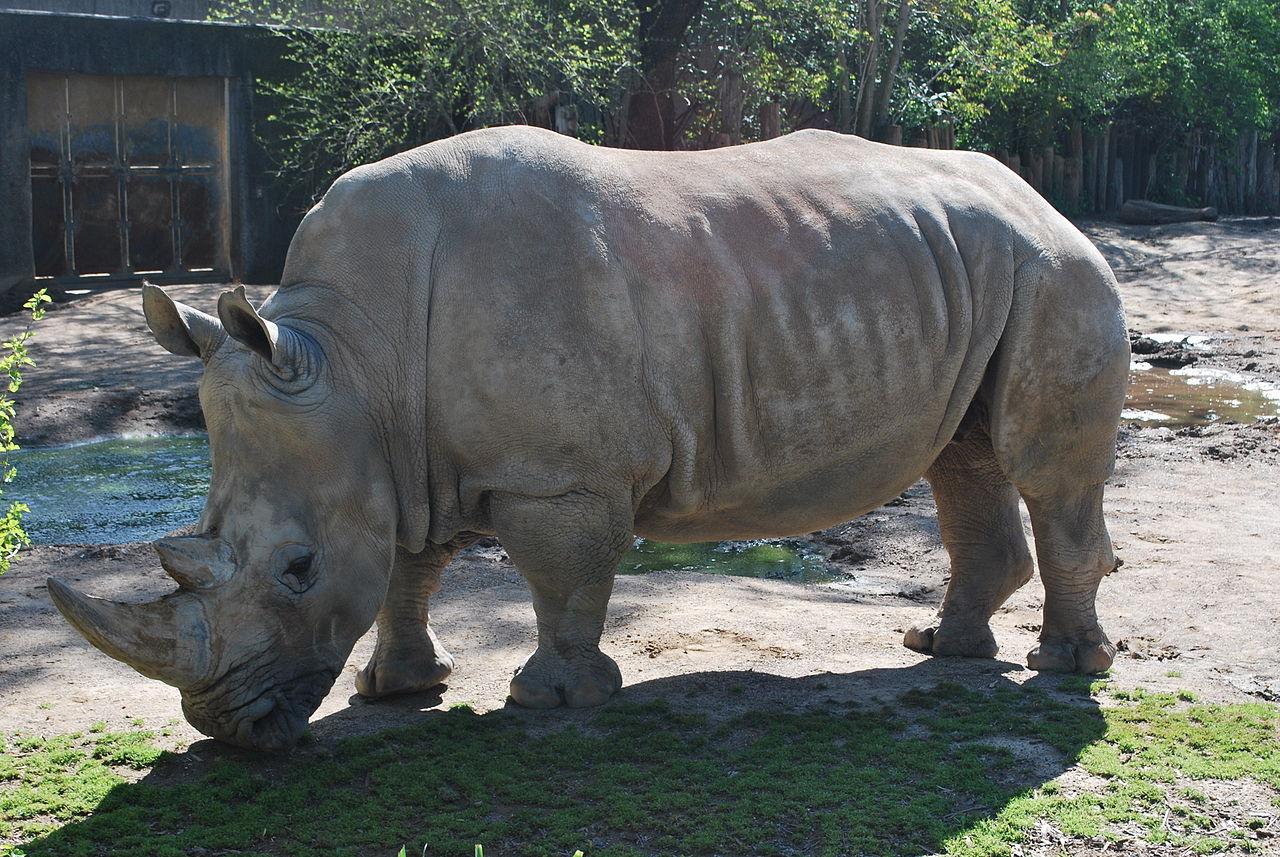 Tjuvjägare dödade noshörning i fransk djurpark