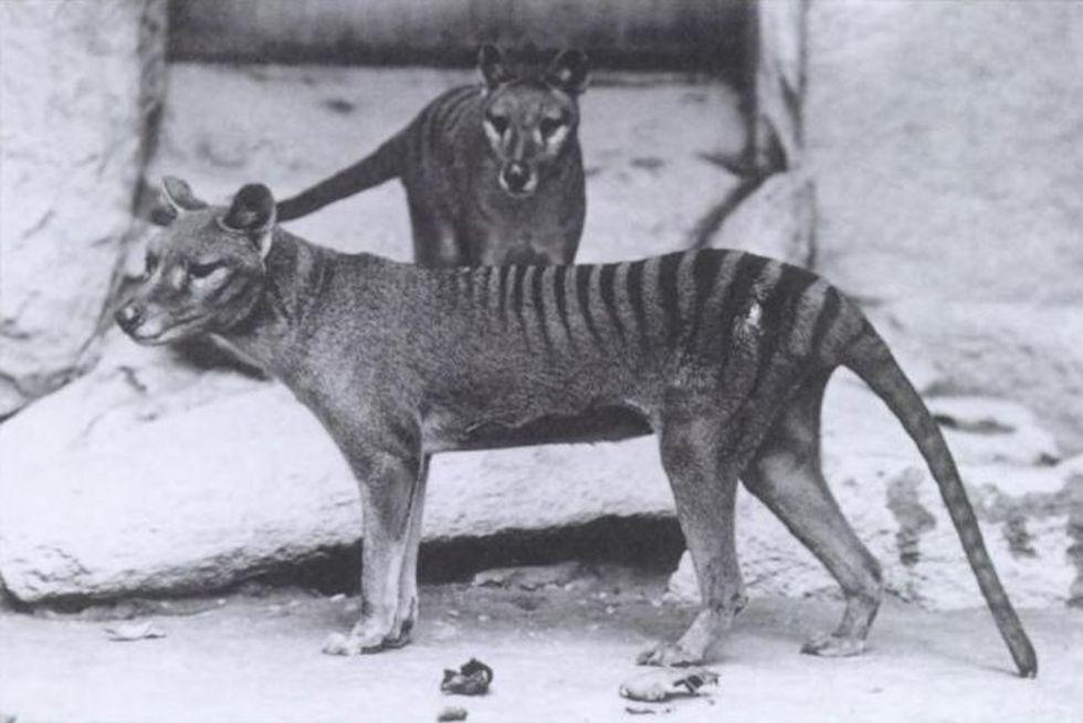 Pungvarg kanske siktad i Australien