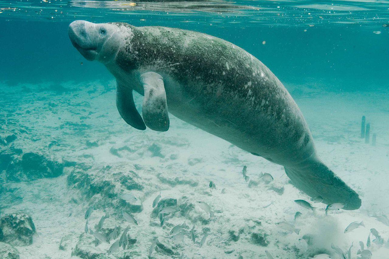 Sjökor ej längre utrotningshotade