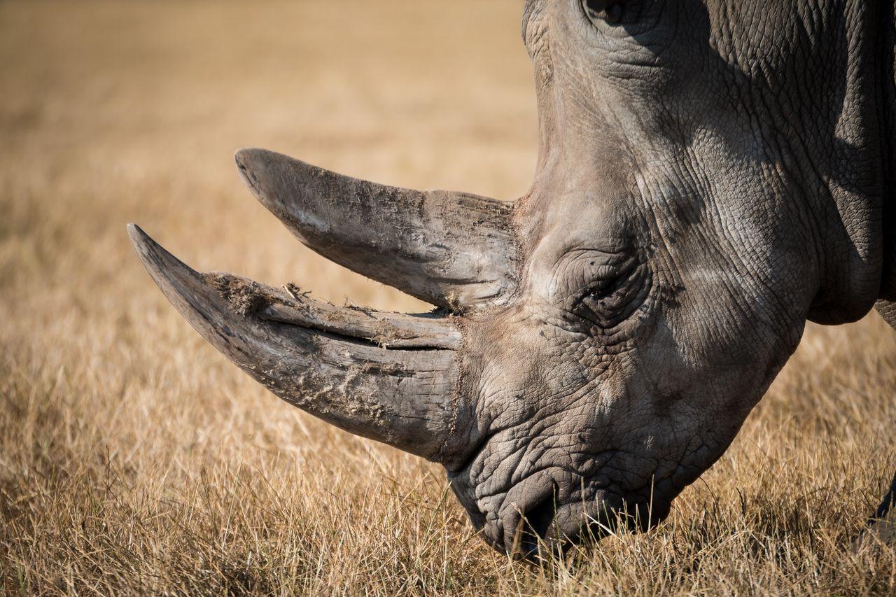 Handel med noshörningshorn blir lagligt i Sydafrika