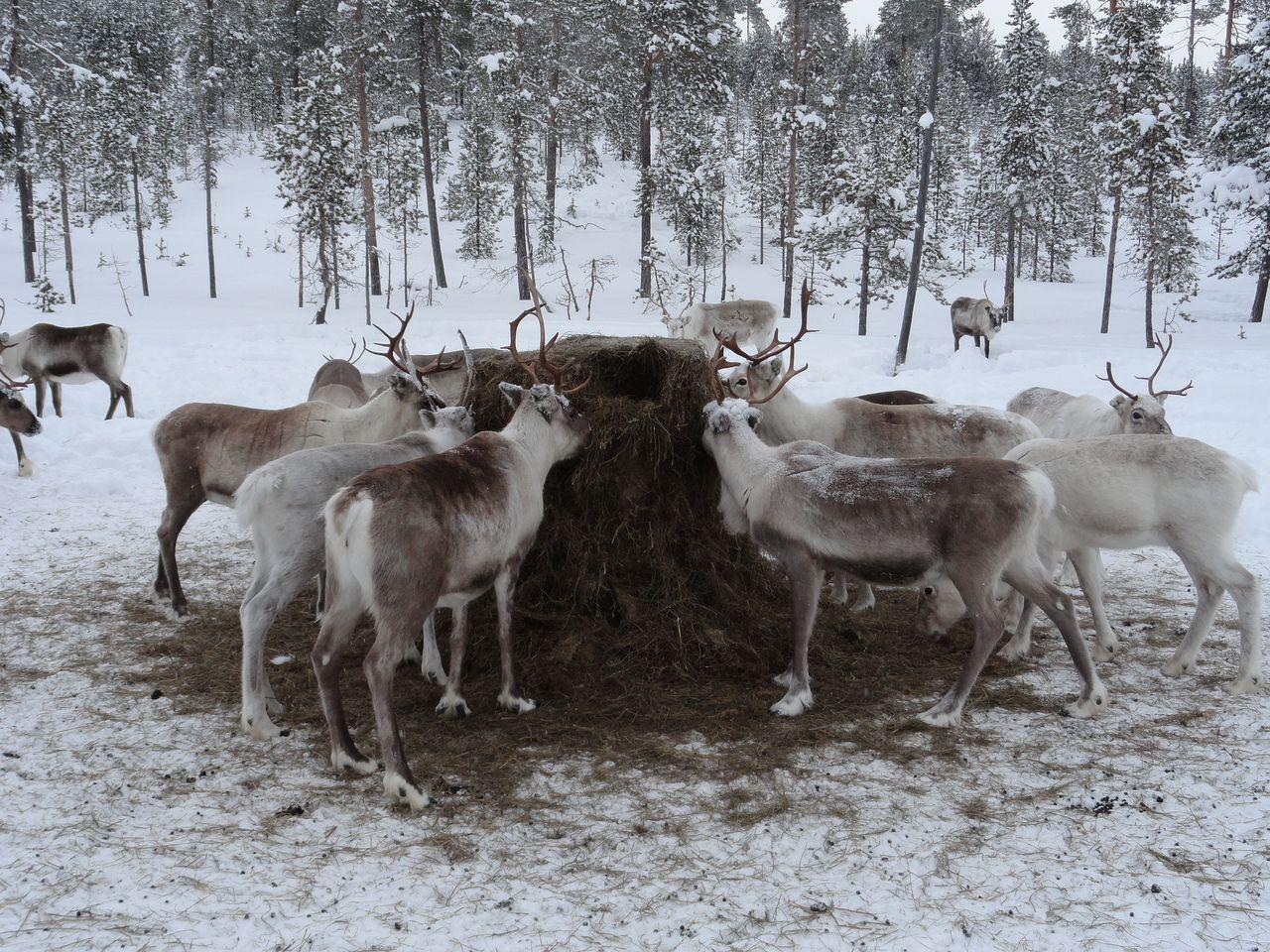 Samer tvingas stödmata djuren under vintern