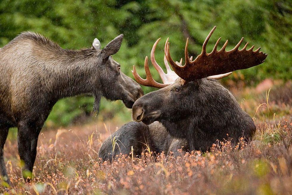 Stor ökning av vilda stora däggdjur i Sverige