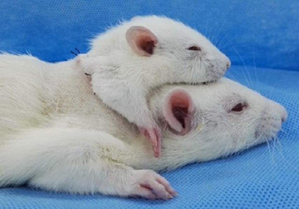 Kirurg opererar fast ytterligare ett huvud på en råtta