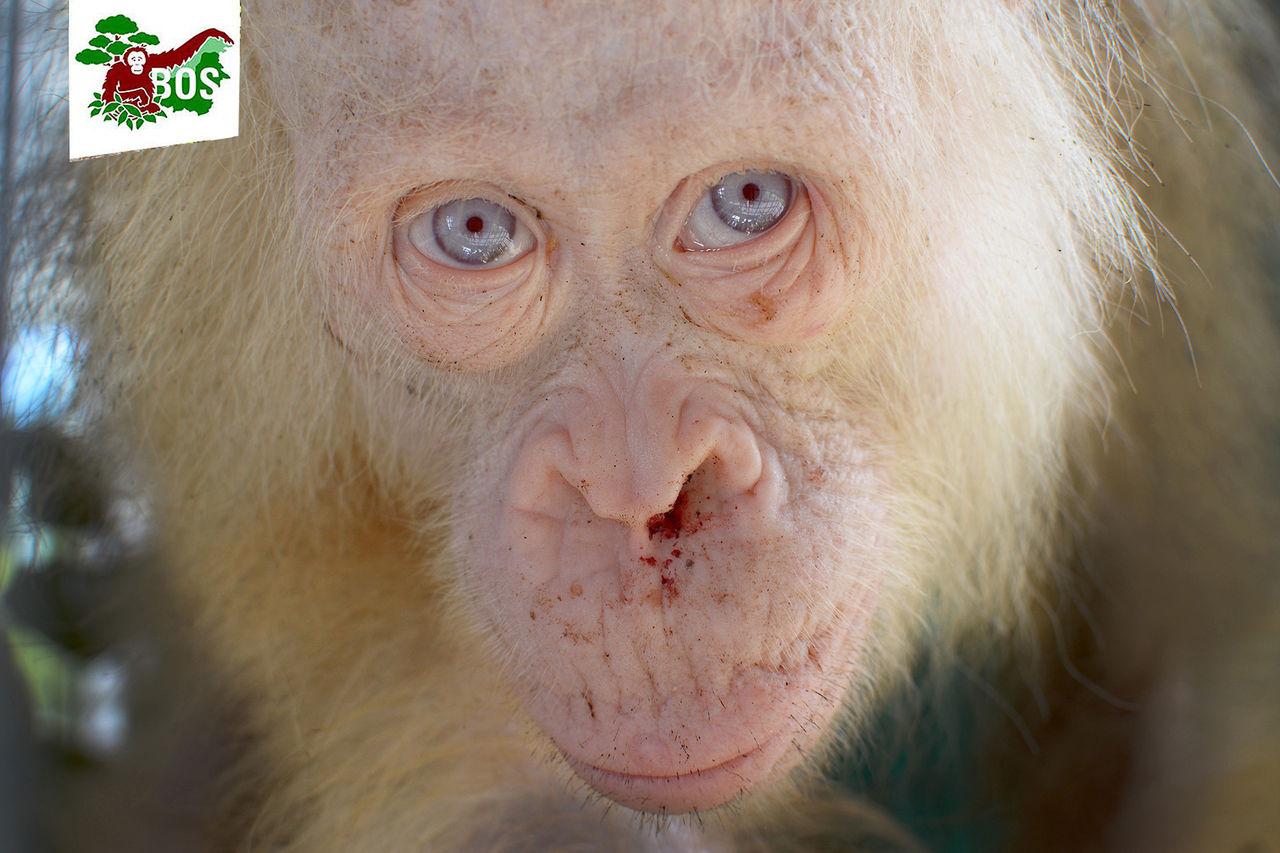 Albino-orangutang räddad ur fångenskap
