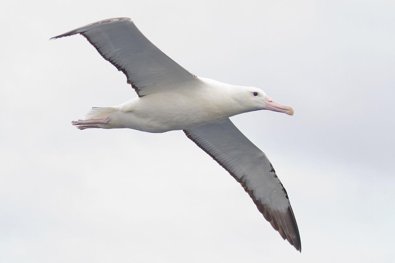 Hel Albatross-stam räknas via satellit