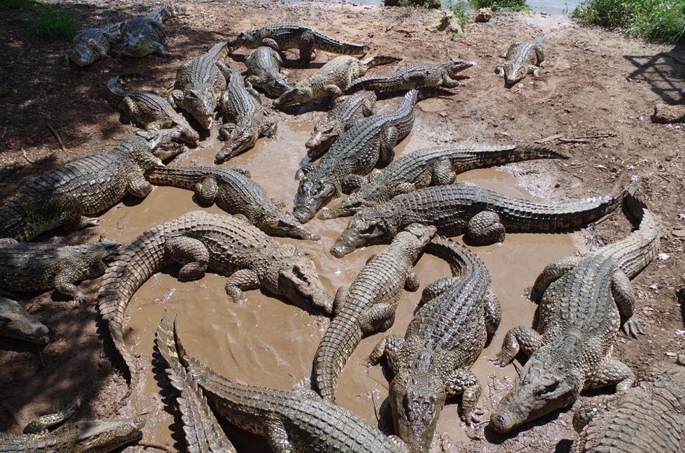 Ligger kroppsbyggare bakom krokodilhanne-överskott?