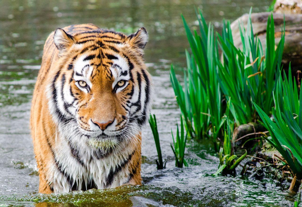 Kazakstan vill återintroducera tigrar