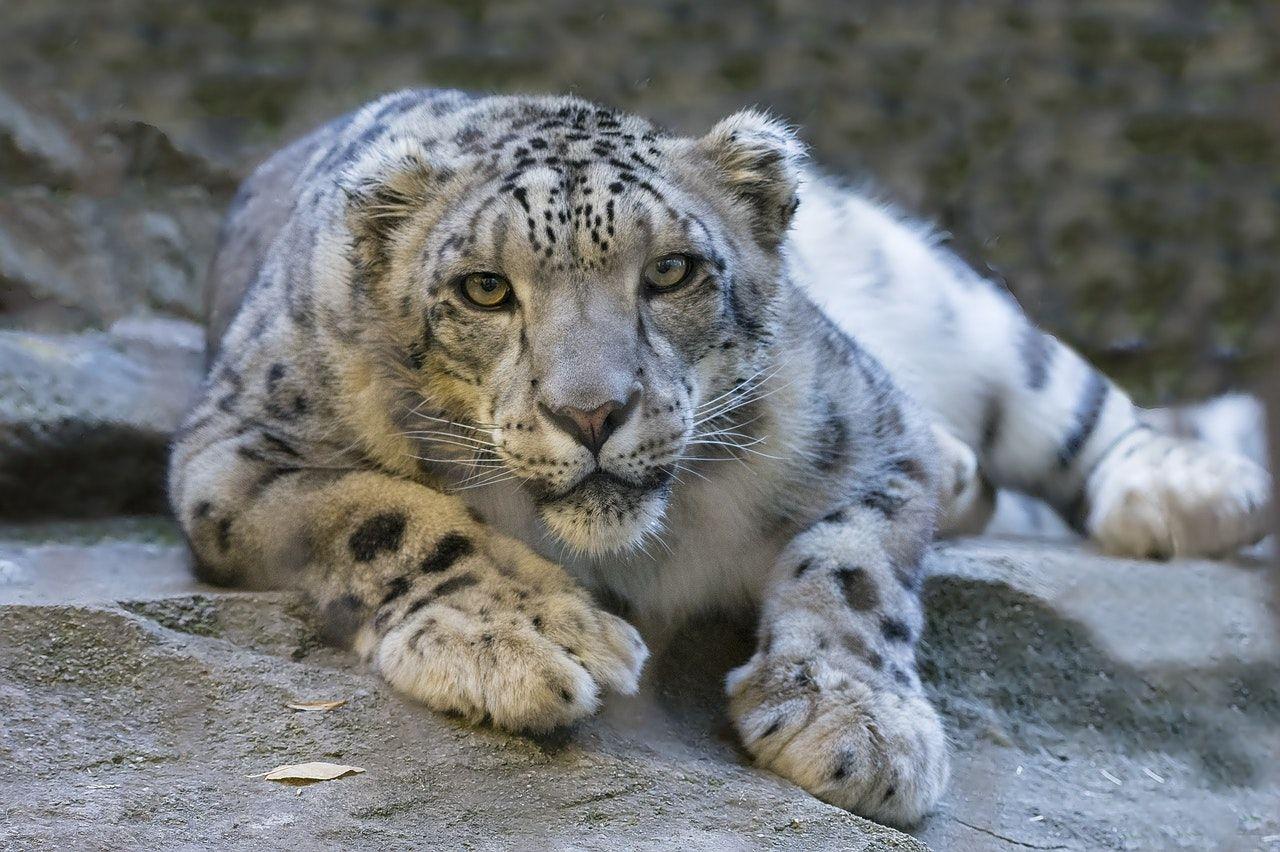 Snöleoparden klassas inte längre som hotad art