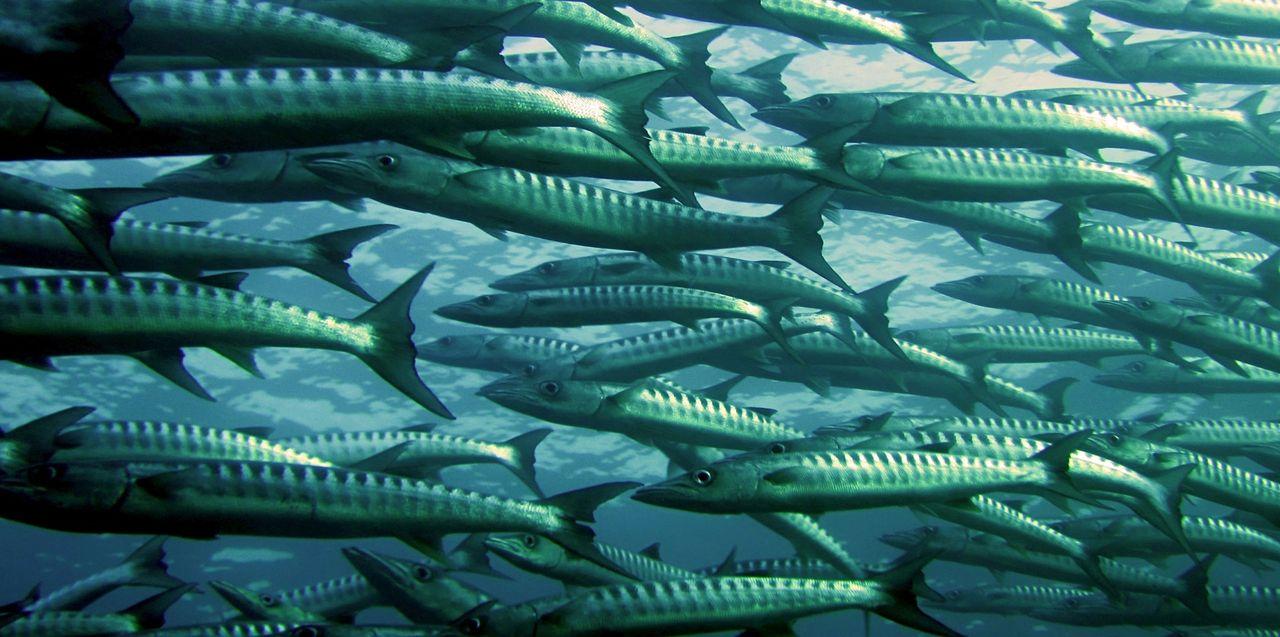 Fiskar blir slöa av små plastbitar