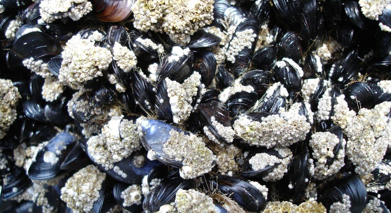 Musslorna i Östersjön släpper ut lika mycket växthusgaser som 20 000 mjölkkor