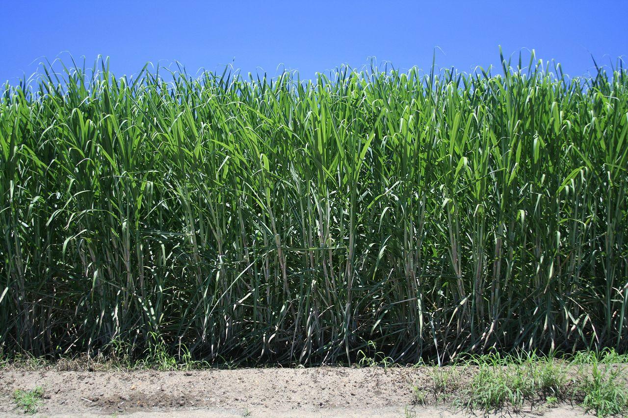 Etanol på sockerrör kan ersätta en hel del olja