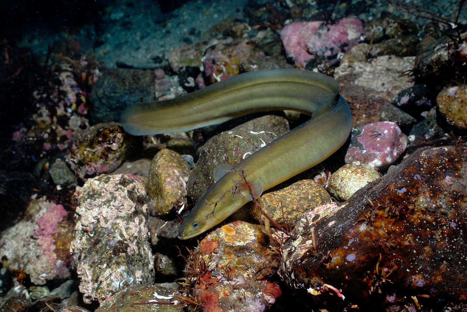 Även odlad ål påverkar beståndet