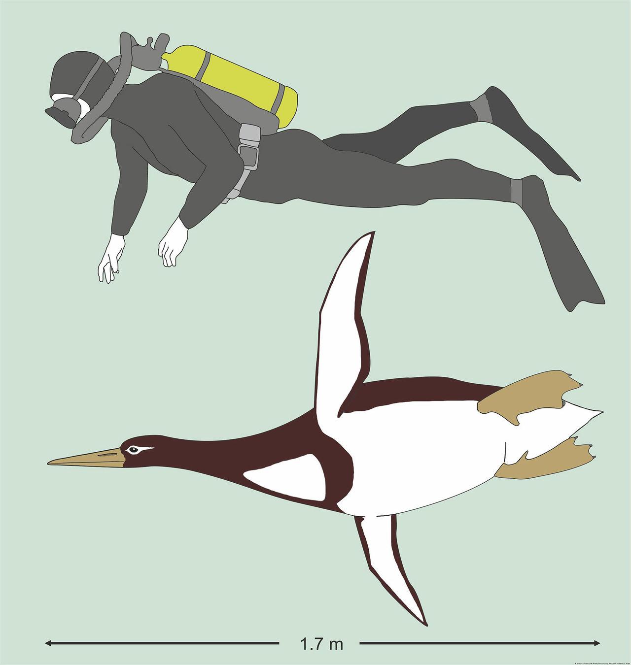 Det bodde jättepingviner på Nya Zeeland förr i tiden