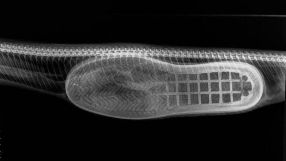 Kolla in när sko opereras ut från orms mage