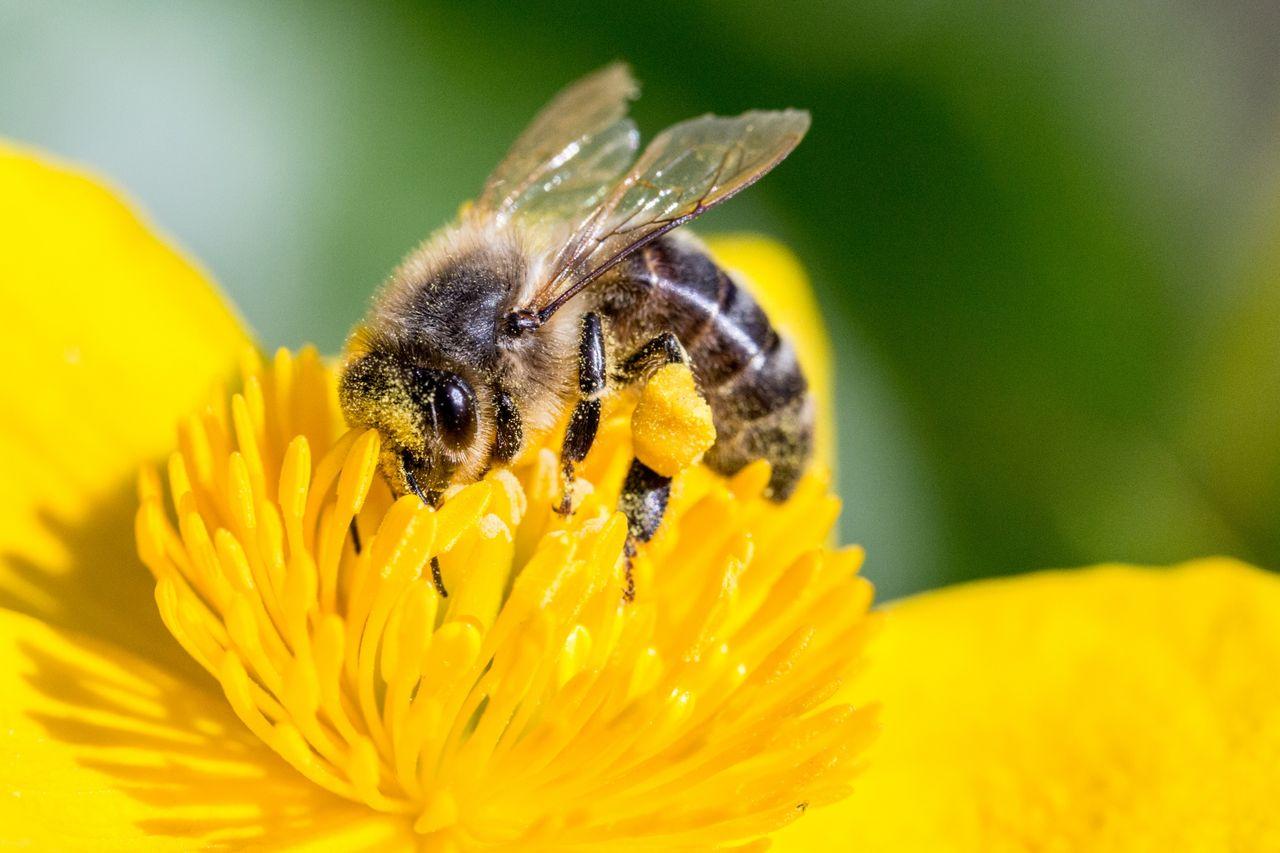 EU förbjuder bekämpningsmedel som misstänks döda bin