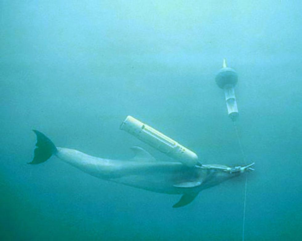 Ukrainas delfin-armé har börjat dö i rysk fångenskap