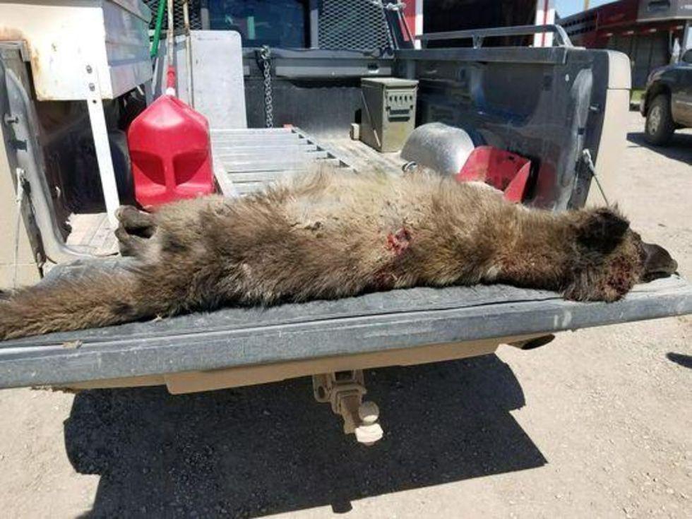 Mystiskt vargliknande djur skjutet i USA