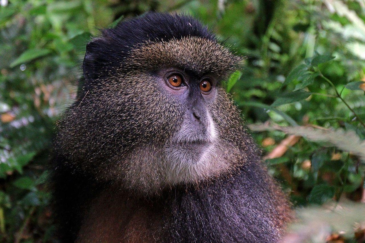 Forskare tar fram system för att följa utrotningshotade apor