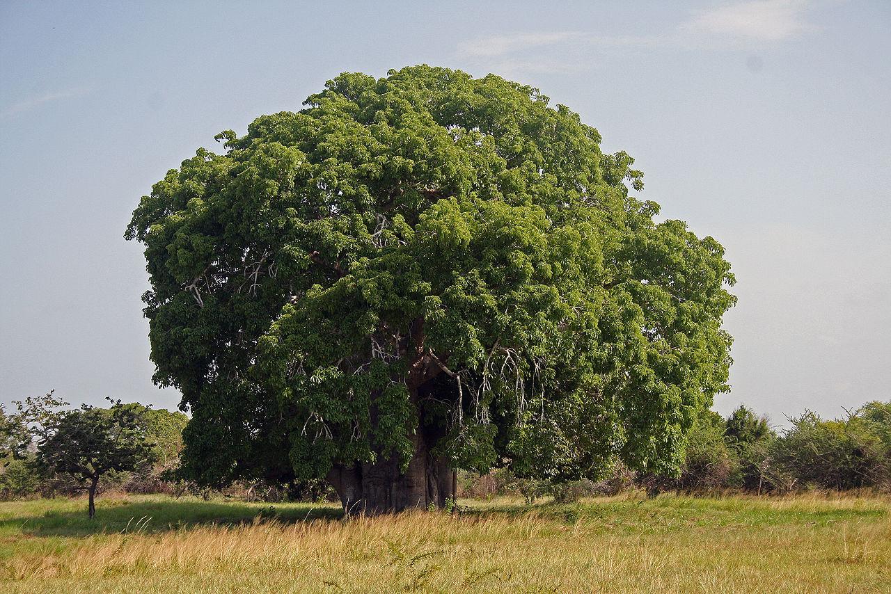 Några av Afrikas äldsta träd har oväntat dött
